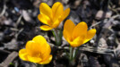 Three crocuses opening