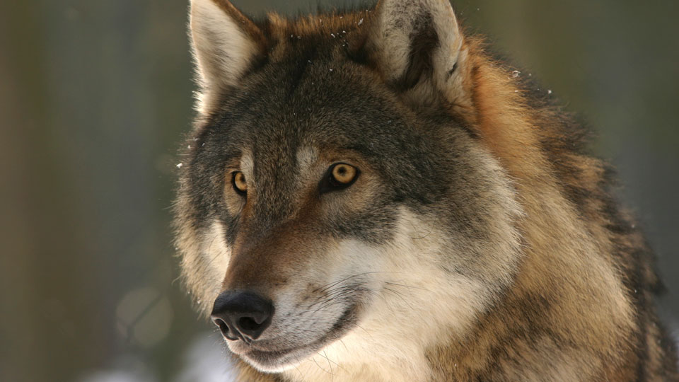 Very focussed yellow-eyed wolf