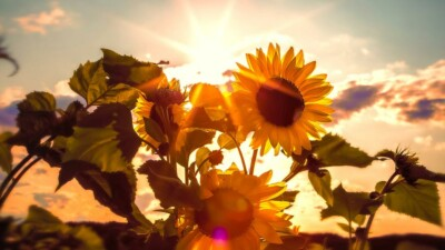 Sunflowers with sun behind